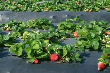 Strawberries planted into plastic mulch